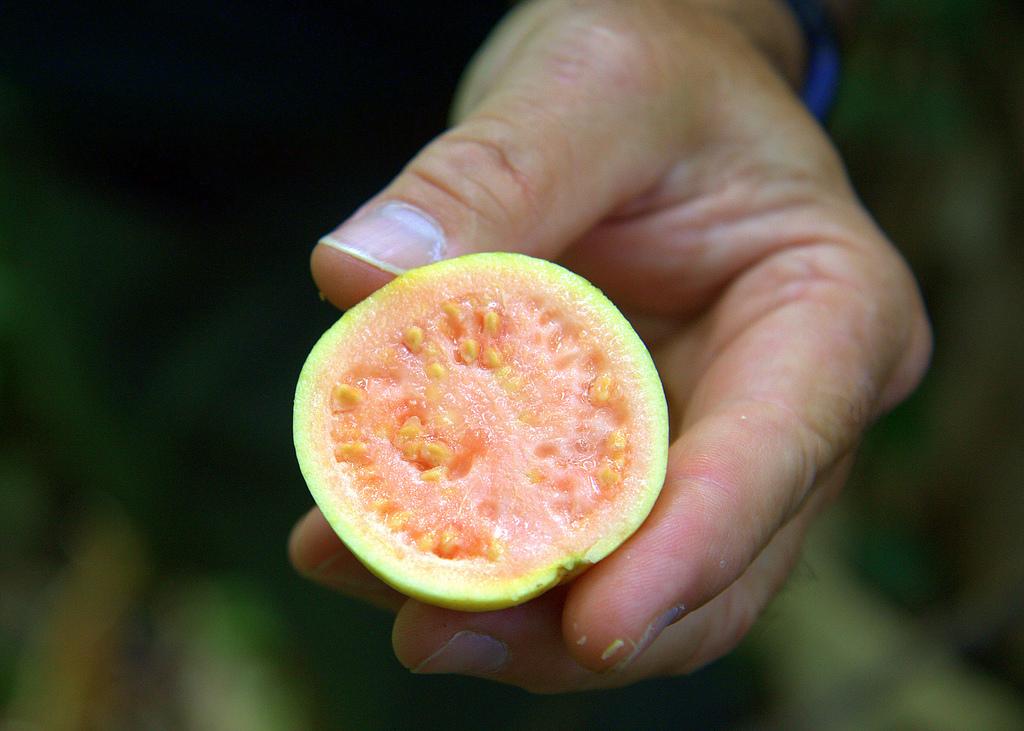 Guava fruit in Costa Rica